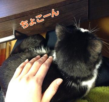 膝の上に乗る猫・スコムスビ