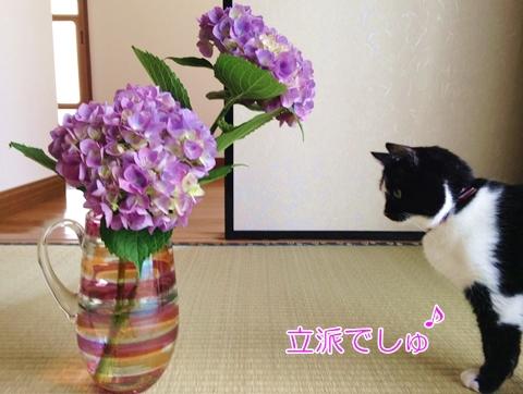 猫とアジサイ