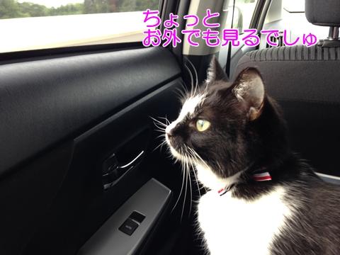 猫を車に乗せる