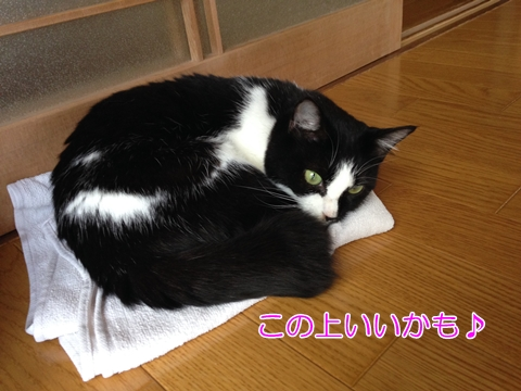 猫夏のタオル