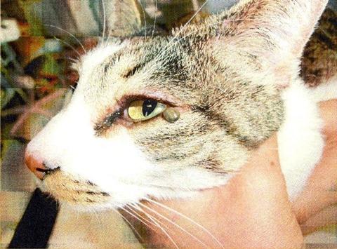 猫 マダニ 画像