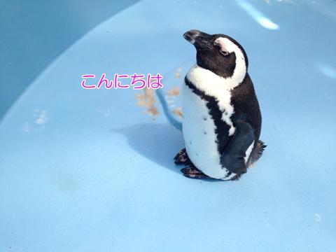 白黒猫ペンギン似てる