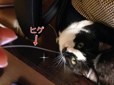 猫のヒゲの換毛期2