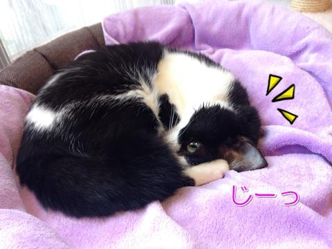 猫寝ながら盗み見る2