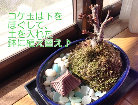 桜の苔玉の植え替え