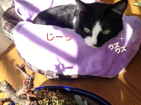 猫とさくらの苔玉いたずら