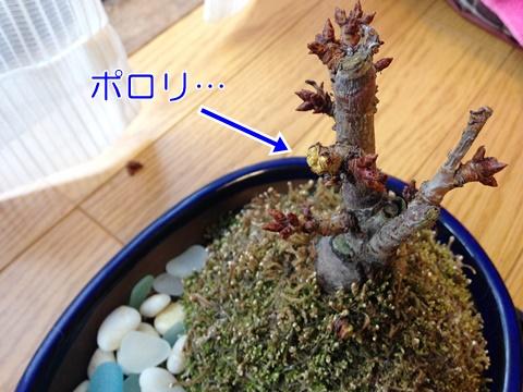 桜の盆栽 冬芽