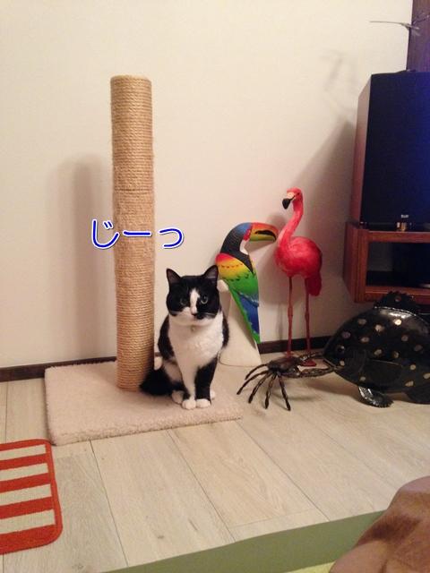 猫おやつ視線でねだる
