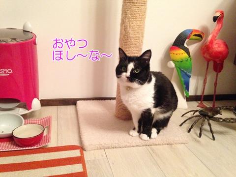 猫のおやつは一日何回?視線でおねだりするムスビ