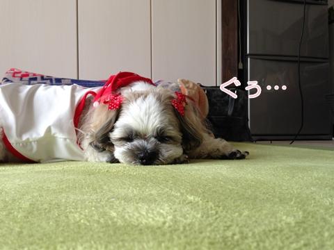 シーズー寝姿♪