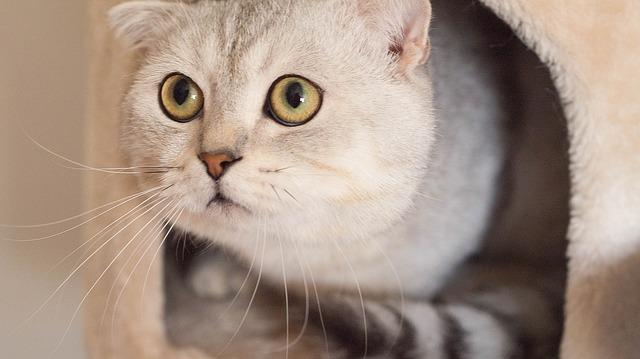 猫の種類、一人暮らしでも飼いやすいのは?留守番得意なネコ