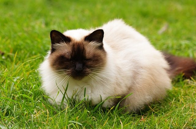 猫の種類と性格!甘えん坊、きまぐれ、おっとりなのは?
