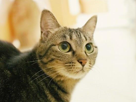 キジトラ猫の性格と特徴【雑種日本猫の種類】サバトラとの違い