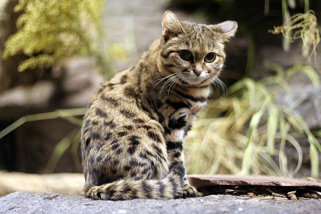 猫の種類を小さい順に紹介!値段や雑種の最小は?