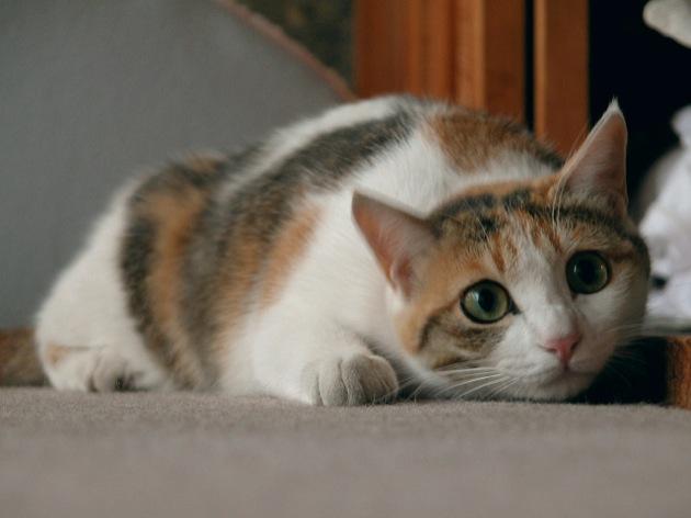 三毛猫の性格やオスの値段は【雑種日本猫の種類】