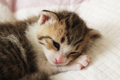 猫の種類ランキング、小型猫は飼いやすい?
