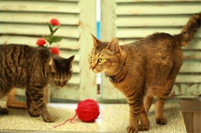 猫の種類、飼いやすいのは短毛雑種?人懐っこい、大人しいのは