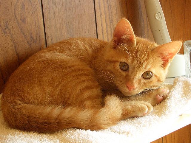 トラ、サバトラ、サバ白の性格と飼いやすさ【雑種日本猫の種類】