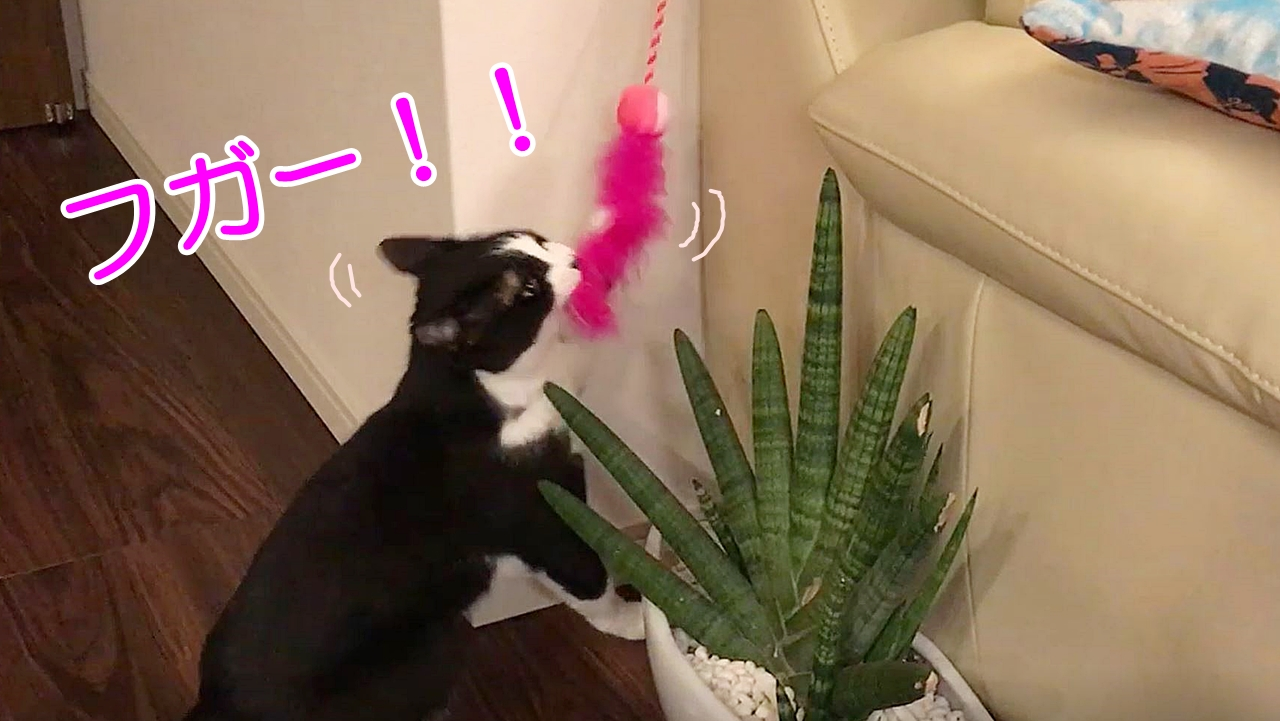 おもちゃが取りたくて頑張る猫頭をぶつけても夢中です