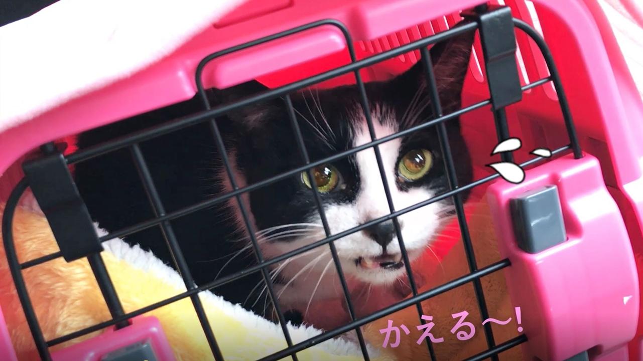 猫おむすびさん、病院行きの車のなかで鳴き叫ぶ
