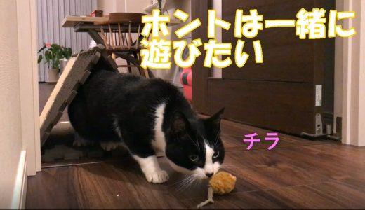 茶ねずでハッスルする猫おむすびさん🍙実は、遊んでアピール?