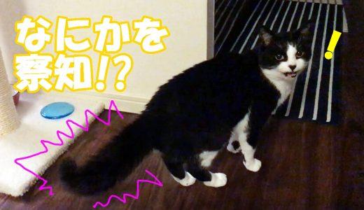 しっぽボワボワ!!何かを察知した猫おむすびさん