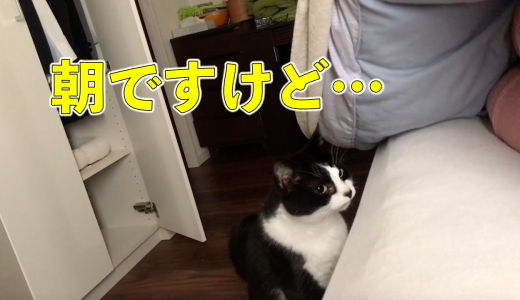 控えめな猫おむすびさんが、積極的に起こしに来た朝☀️