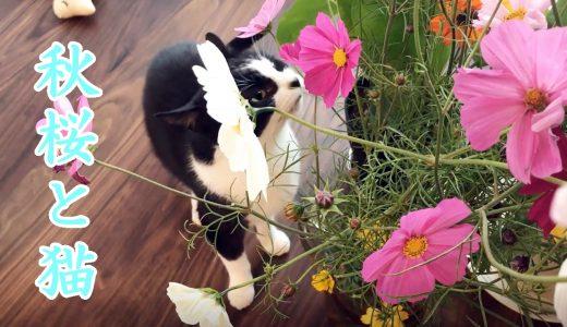 猫おむすびさんとコスモス、そして牛久大仏【妹滞在3日目】