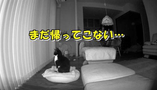 猫に一晩お留守番をお願いしたら?熱烈なお出迎えでおむすびコロリン♪