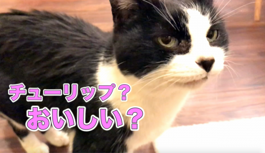 ※チューリップは猫には猛毒でした💦