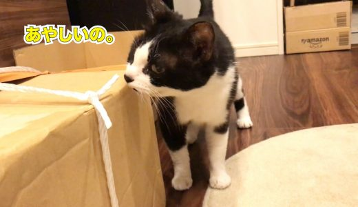 実家からの巨大ダンボールに興味津々な猫がかわいい