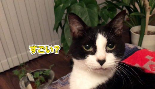 強烈な猫パンチをくらわす猫、褒められてご満悦