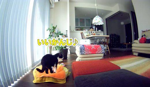 猫、お留守番中に新しいブランケットをこっそり試す【しば犬ハチ登場】
