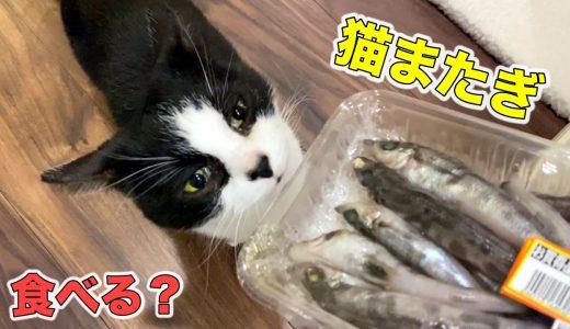 【猫またぎ】メヒカリとヒラメを猫にあげたら反応は?《10月のウマウマデー》