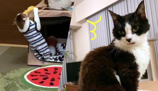 ムキムキの腕力をフル活用する猫【エビ天とエース】