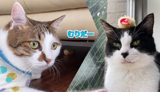 【猫のひとり遊び】エースの訓練と天むすヘアーおむすび